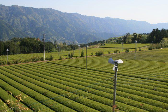 津野町の茶畑