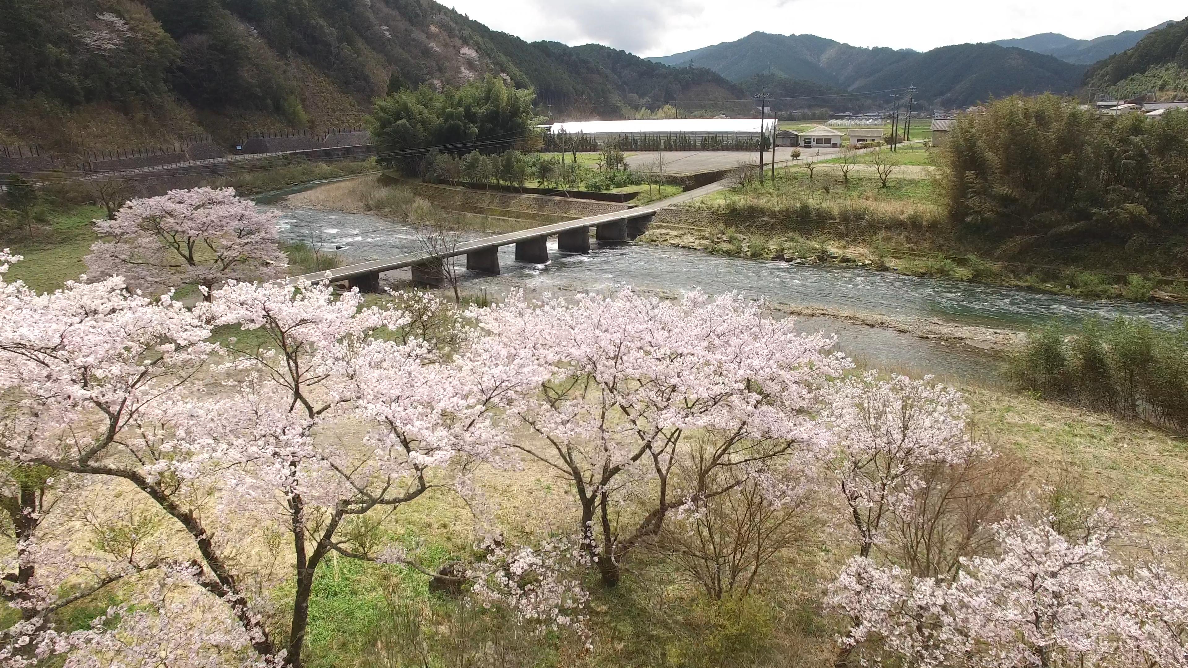 高知 桜 お花見 中土佐町 久万秋の沈下橋