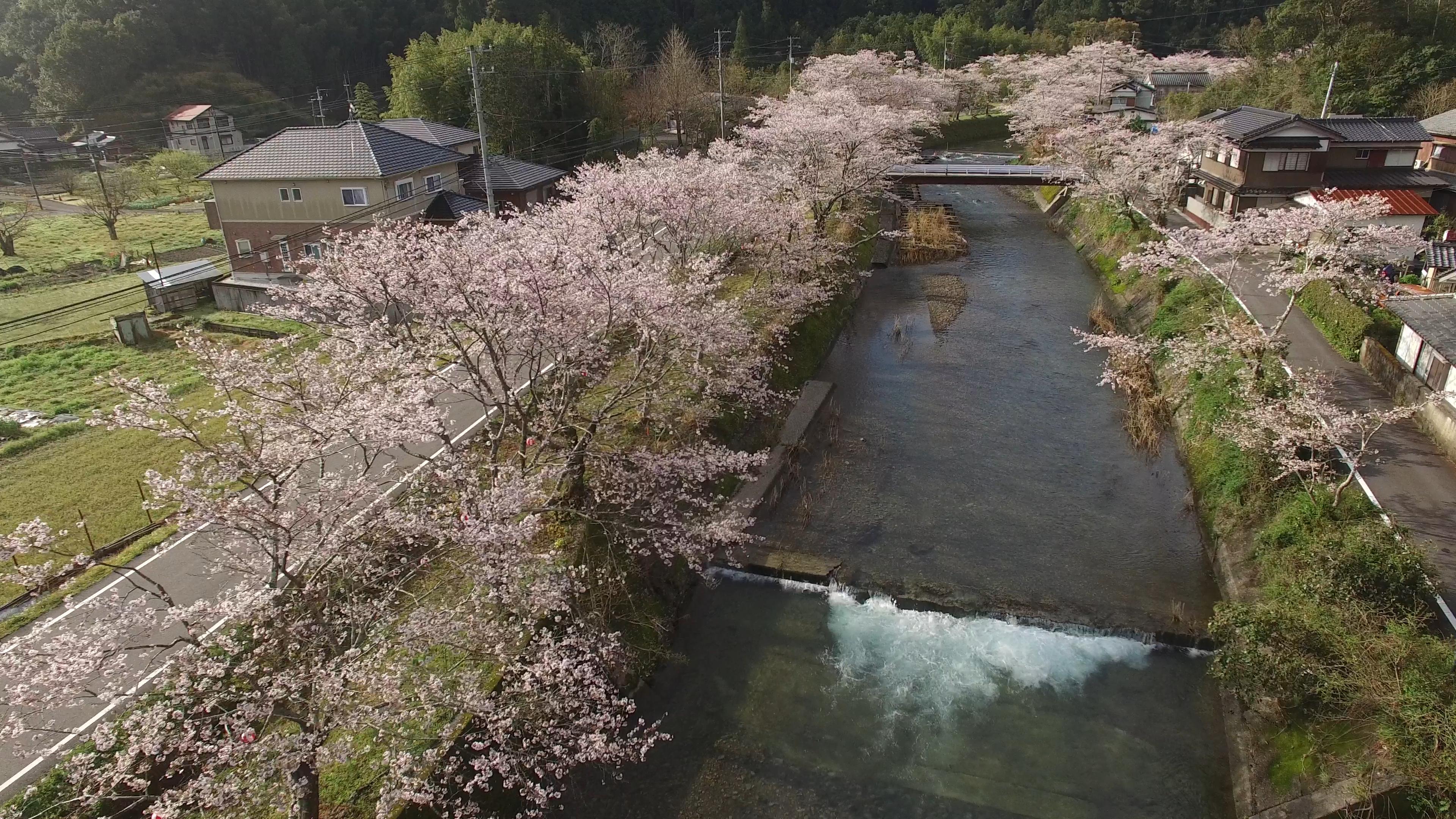高知 中土佐町 桜 お花見 大坂の桜並木