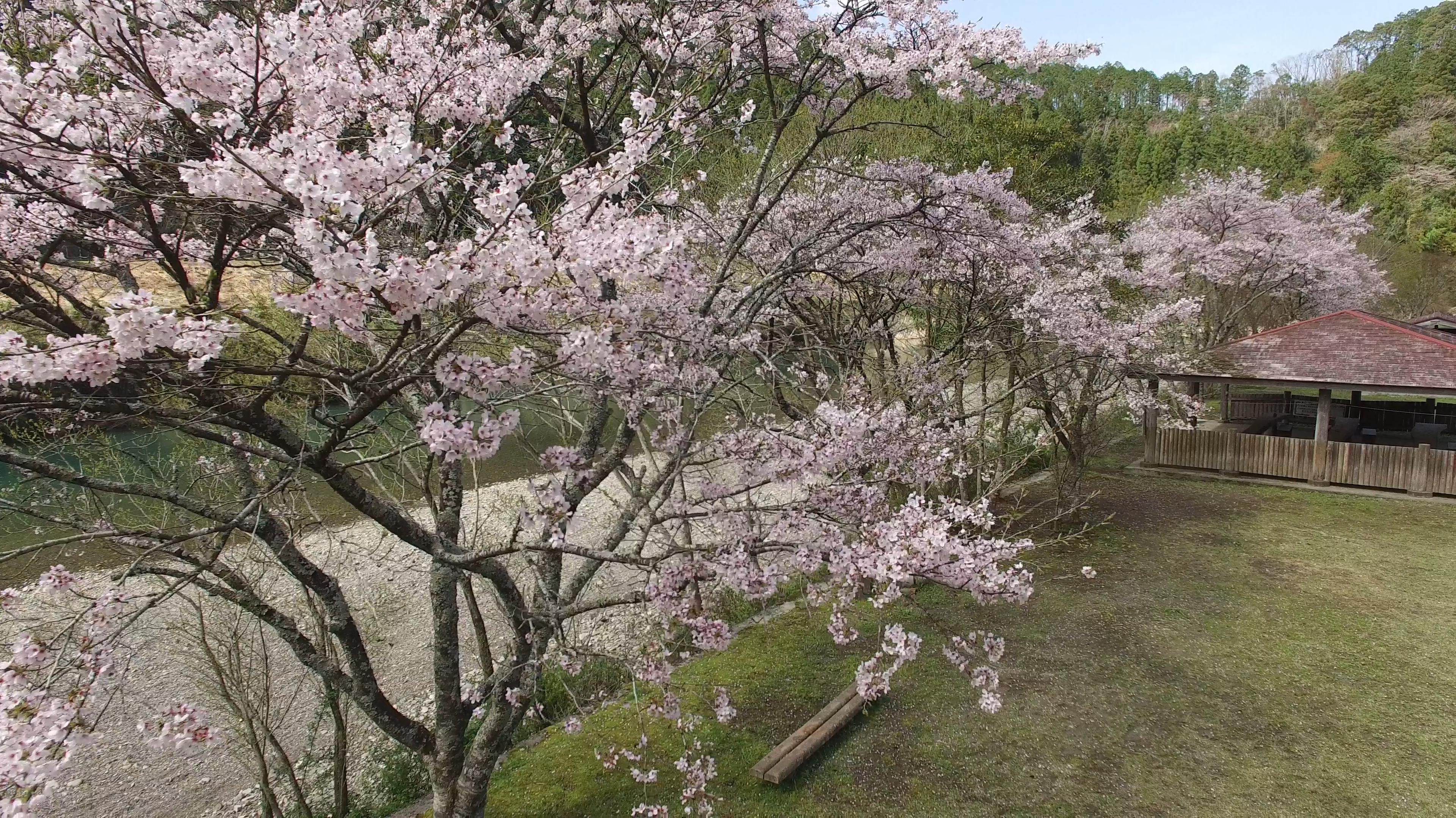 高知 中土佐町 天満宮前キャンプ場 桜 お花見