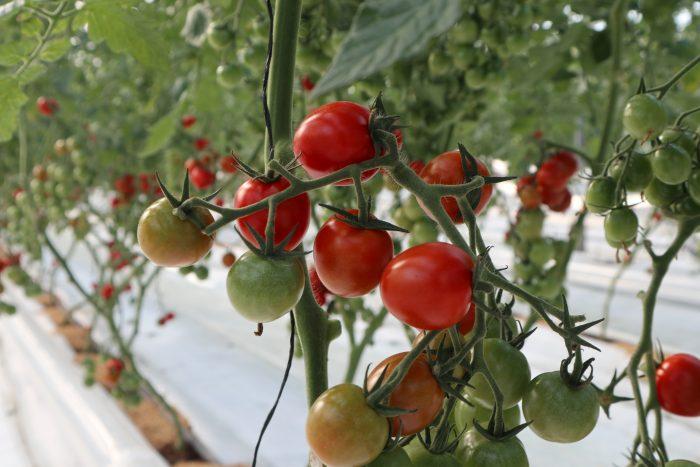 中土佐町 まちだ農園 トマト