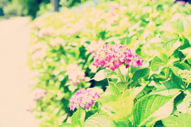 紫陽花を辿って長沢の滝へ