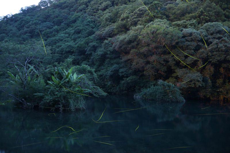 中土佐町 上ノ加江のホタル